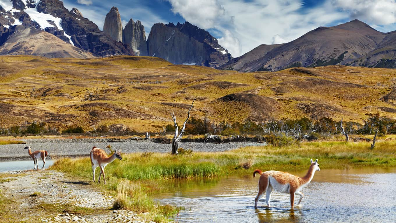 Guanaco In Torres Del Paine National Park - Chile, South America