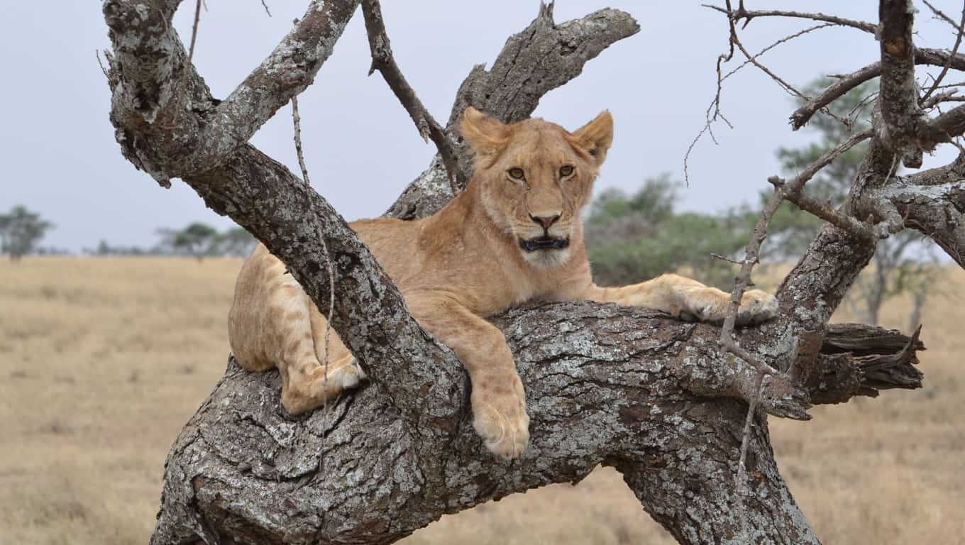 Lion In A Tree In Serengeti National Park - Tanzania