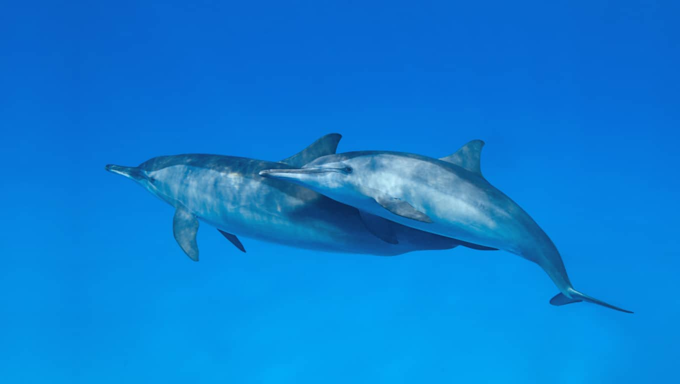 Spinner Dolphins - French Polynesia
