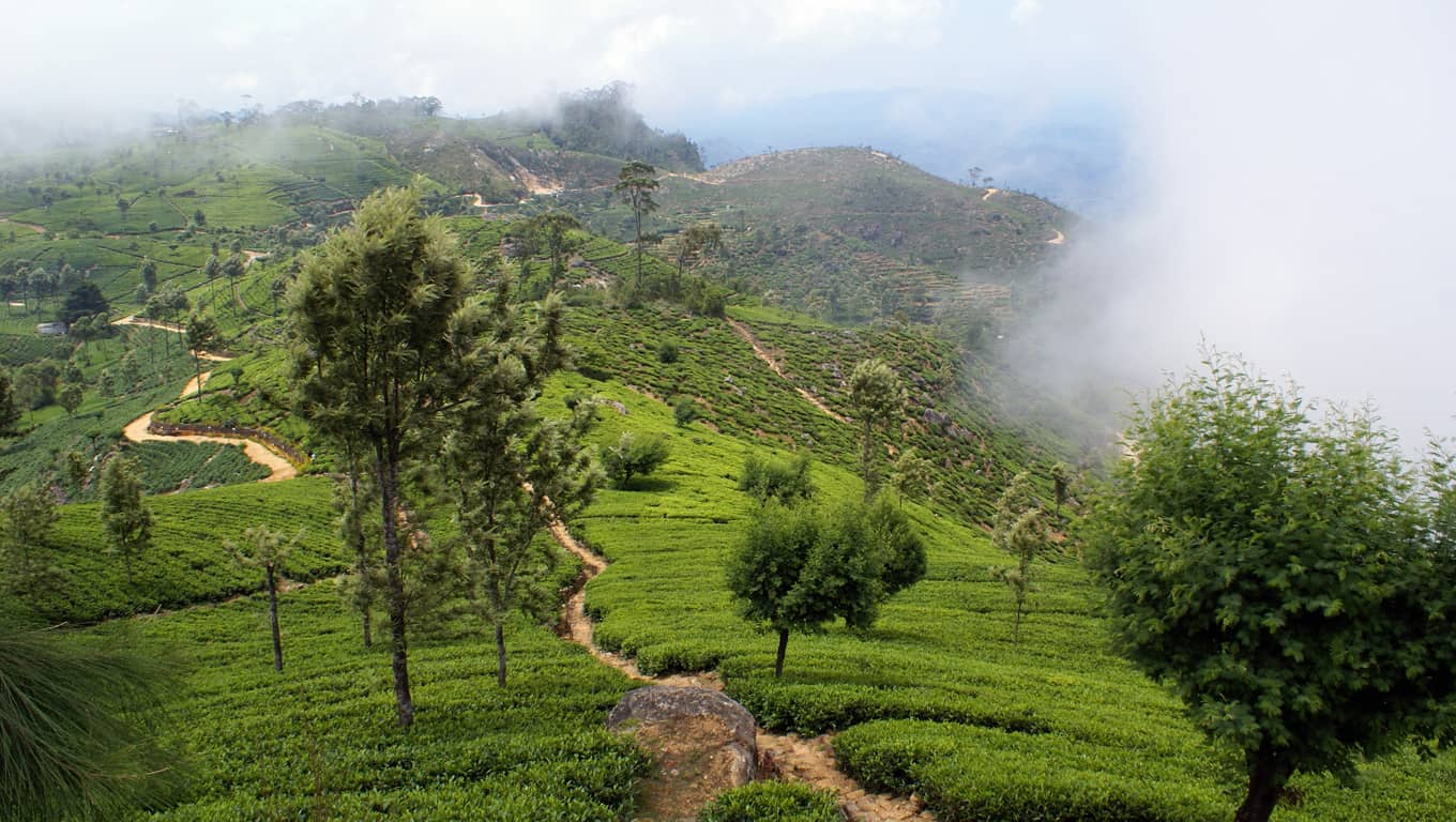 Green Tea Plantations - Sri Lanka