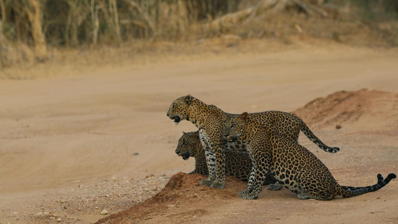 Leopards In Yala National Park